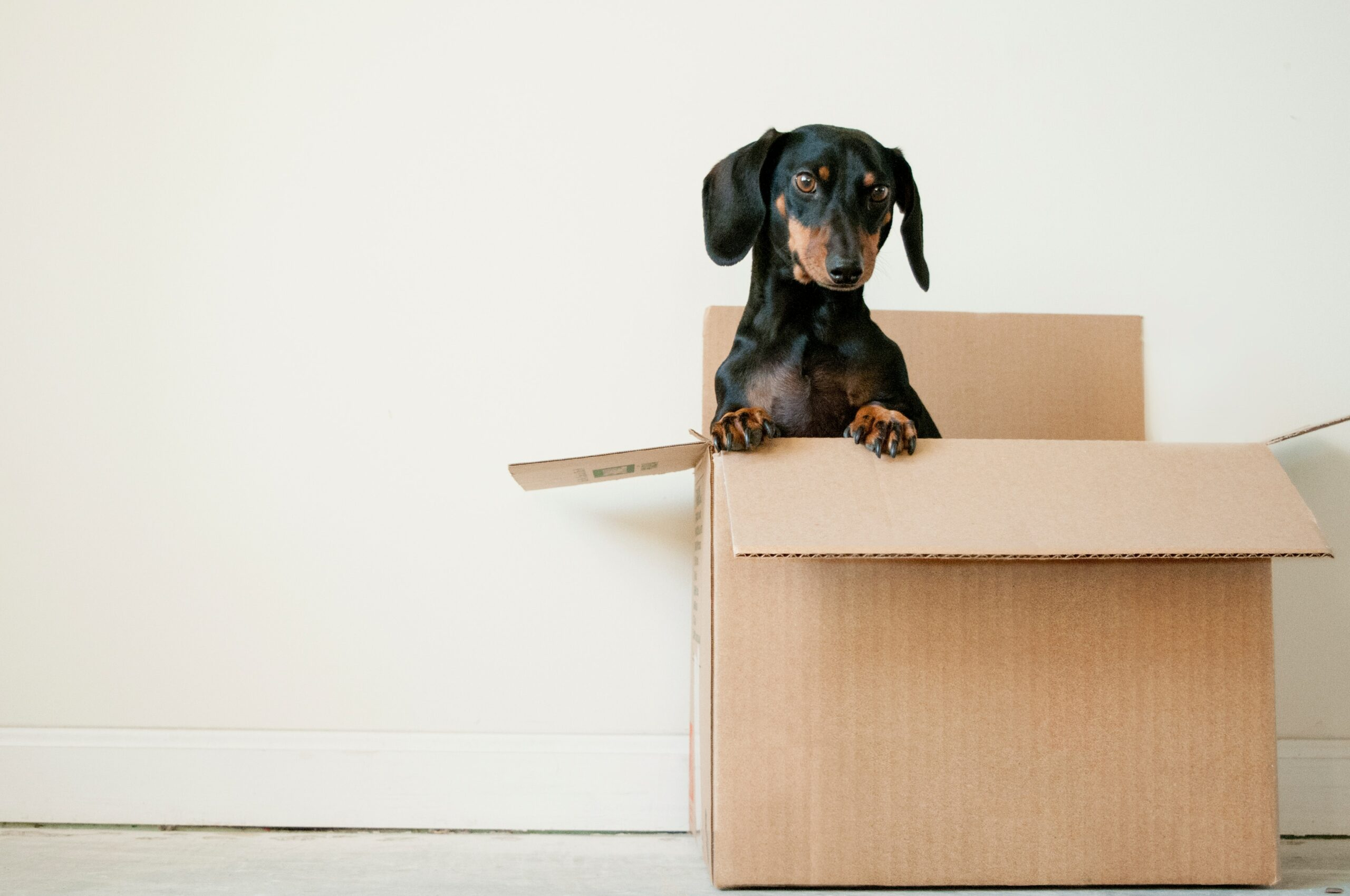 A black and brown dachshund puppy peaking out of a brown moving box.